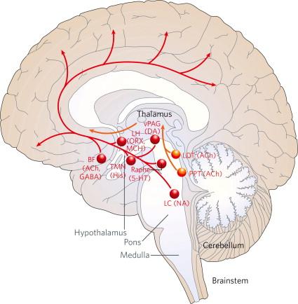 Brain Diagram Reticular Formation