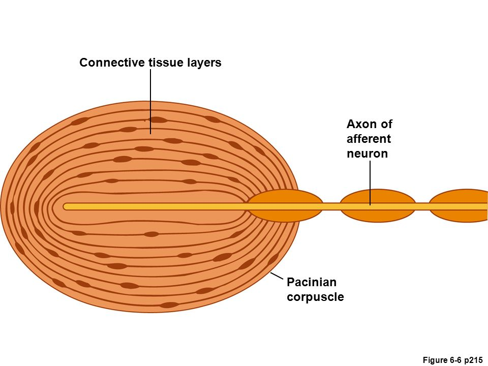Pacinian Corpuscle Diagram