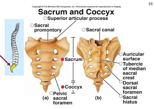 Sacrum And Coccyx Diagram